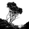 Monotone Tree Creveen